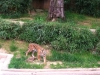 national-zoo-tiger