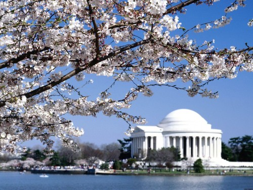 Tree full of flowers with Jefferson Memorial in background