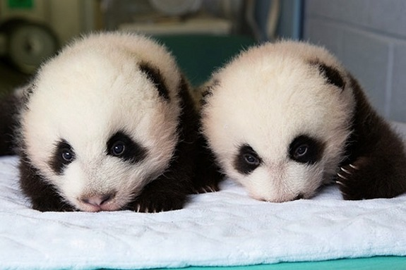 Two panda bear twin cubs snuggled on blanket